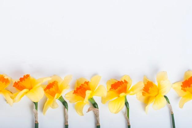 白い背景の上の行に黄色の水仙 Premium写真
