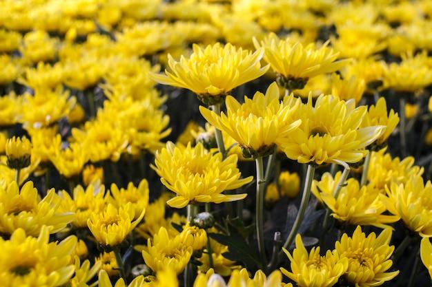 Желтый цветок хризантемы в саду. Premium Фотографии
