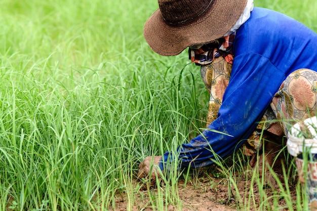 Фермеры занимаются сельским хозяйством в сельской местности таиланда. Premium Фотографии