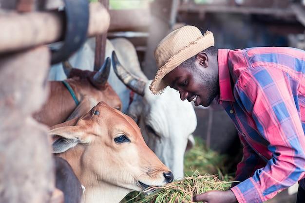 親切なアフリカの農夫が農場で草で牛に餌をやる Premium写真