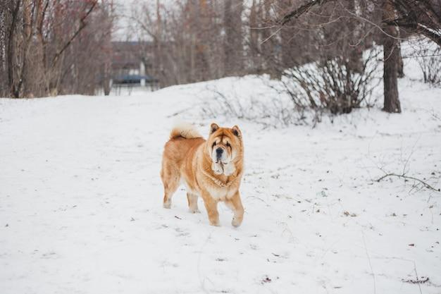 冬の公園、ペットと冬、ペットの世話で歩く犬 Premium写真