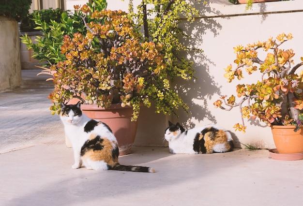 マルタの路上でホームレスの猫双子 Premium写真