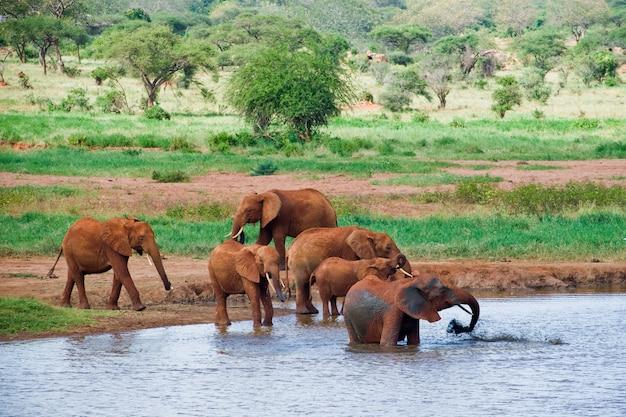 Огромный кобель африканского слона Premium Фотографии