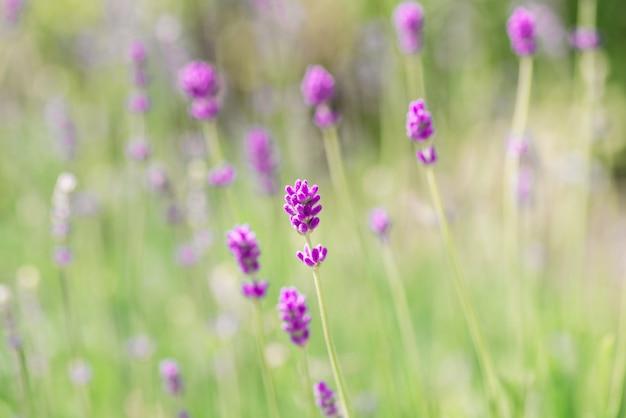 Лаванда цветы цветут. фиолетовый полевые цветы фон. нежные цветы лаванды. Premium Фотографии