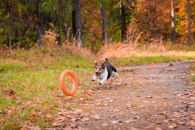 公園を散歩する犬ジャックラッセルテリア。家のペット。公園を歩いている犬。秋の公園。 Premium写真