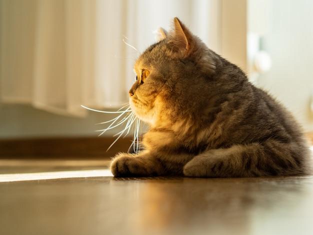 Кот лежит на полу, взгляд устремлен в сторону, луч солнечного света от ветра Premium Фотографии