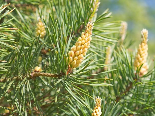 松、開花、受粉の緑の春枝。花粉アレルギー。閉じる Premium写真