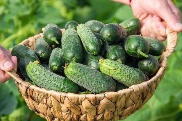Домашнее выращивание огурцов и сбор урожая в руках мужчин. Premium Фотографии
