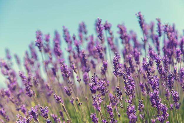 Цветущее лавандовое поле. летние цветы. Premium Фотографии