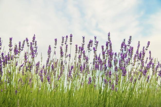 Цветущее лавандовое поле. летние цветы. выборочный фокус Premium Фотографии