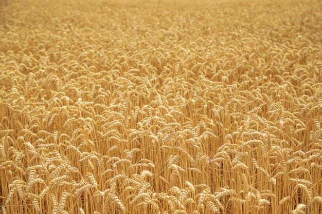 晴れた日に麦畑。 Premium写真