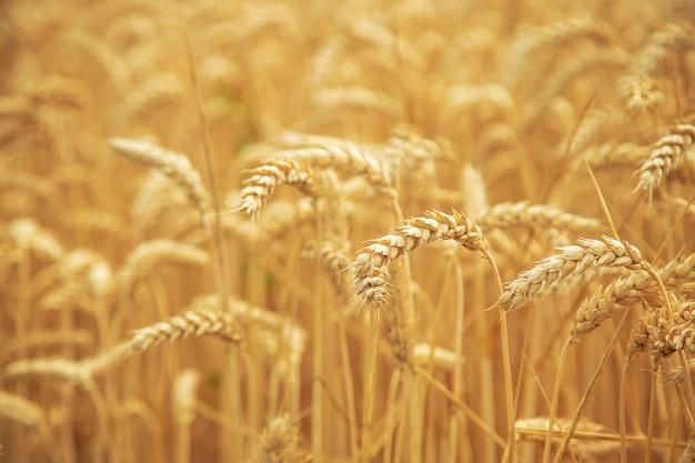 Пшеничное поле в солнечный день. Premium Фотографии