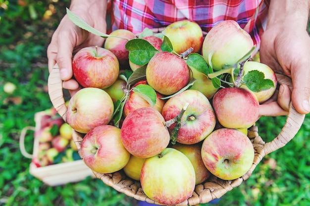 庭師は庭の庭でりんごを摘みます。 Premium写真