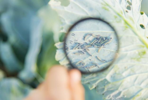 キャベツの葉に乗る毛虫。 Premium写真