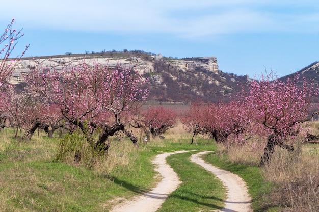 春、山の中の桃の果樹園を通る道。 Premium写真