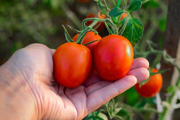 Сбор помидоров в теплице. спелые помидоры в руках фермера. Premium Фотографии