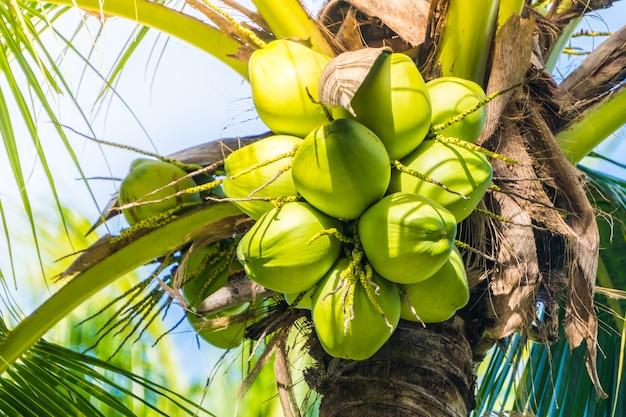 ココナッツの実 無料写真