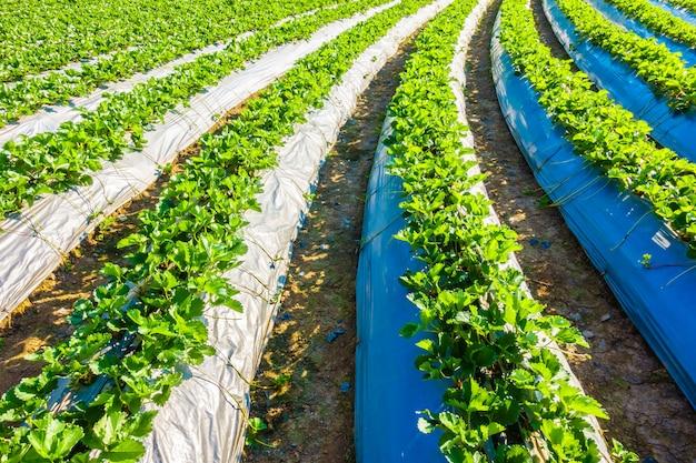 イチゴ畑 無料写真