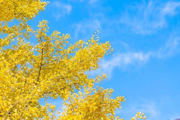 黄色のイチョウの葉 無料写真