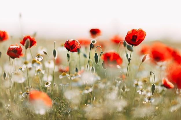 トウモロコシのケシの花のフィールド Premium写真