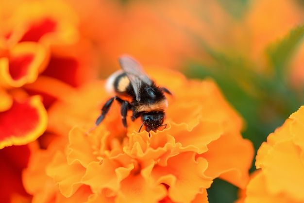 カレンデュラの花のクローズアップの蜂。蜂は蜜を集めて蜂蜜を作り、マリーゴールドの花を受粉します Premium写真
