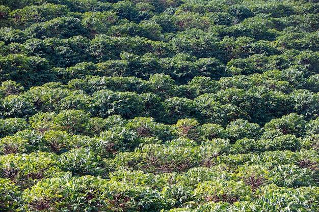 グリーンコーヒー農園 Premium写真