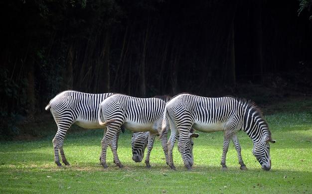 Выстроились три зебры, пасущиеся на зеленой траве Premium Фотографии