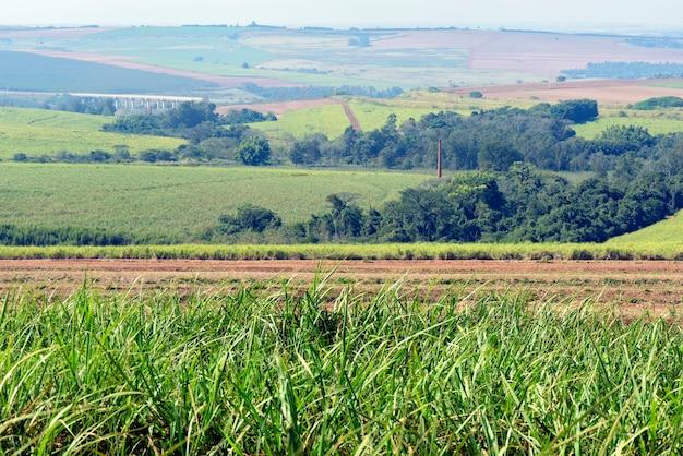 ブラジルのサトウキビ農園 Premium写真