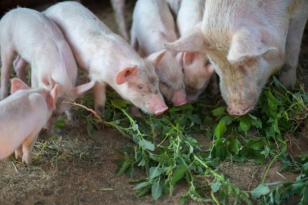 соблюдении картинки поросята едят траву австралийцам
