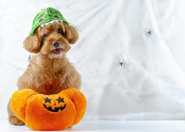 クモのクモの巣の背景に座っているカボチャのおもちゃで愛らしい茶色のプードル犬 Premium写真