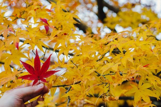 Вручите держать красный кленовый лист на желтом дереве клена в сезоне осени японии. Premium Фотографии