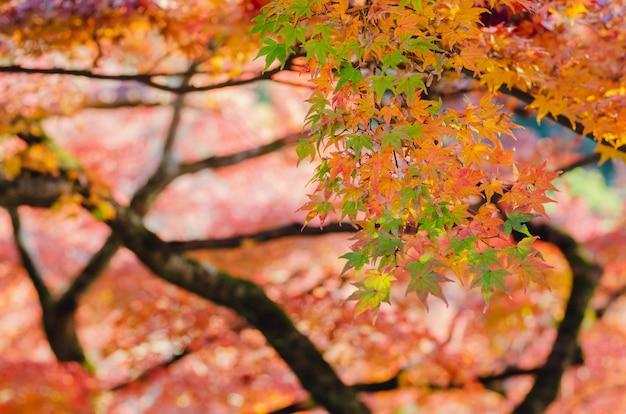 Фокус и запачканная красочная предпосылка дерева кленовых листов в осени японии. Premium Фотографии