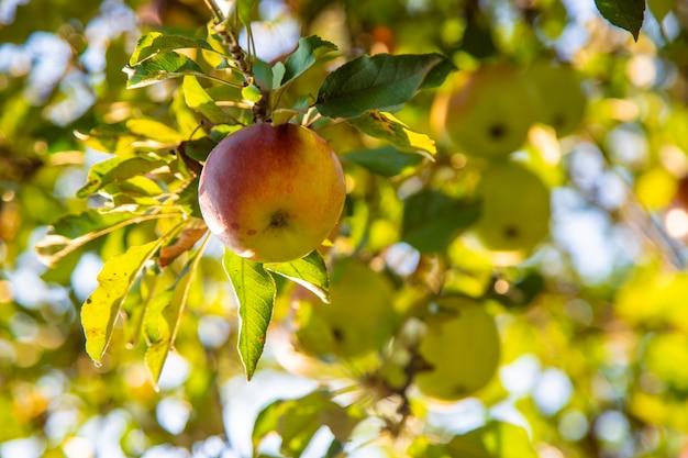 りんごは庭の木に生えています。セレクティブフォーカス Premium写真
