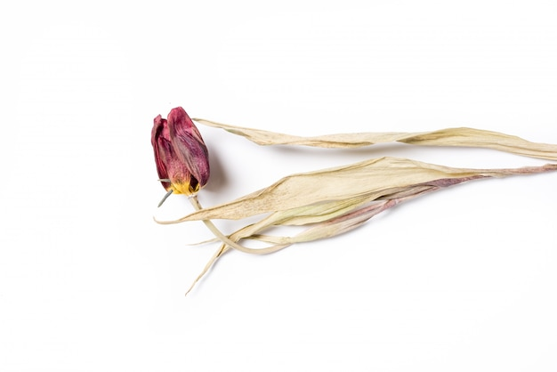白地に赤いチューリップの花を乾燥させます。枯れた花 Premium写真