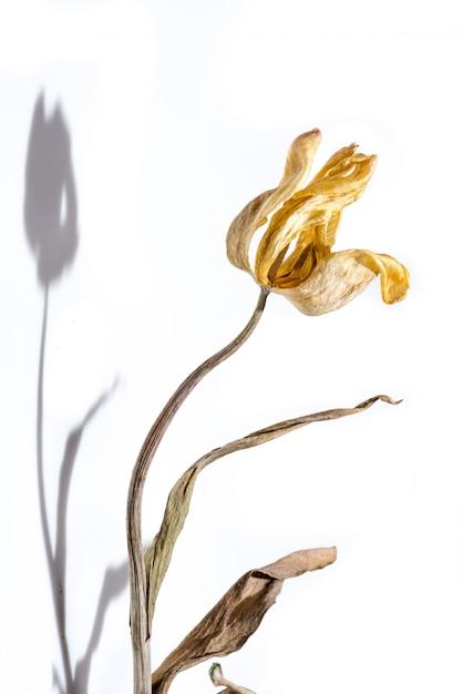 枯れた花影と白い背景の上の黄色いチューリップの花を乾燥させます。 Premium写真