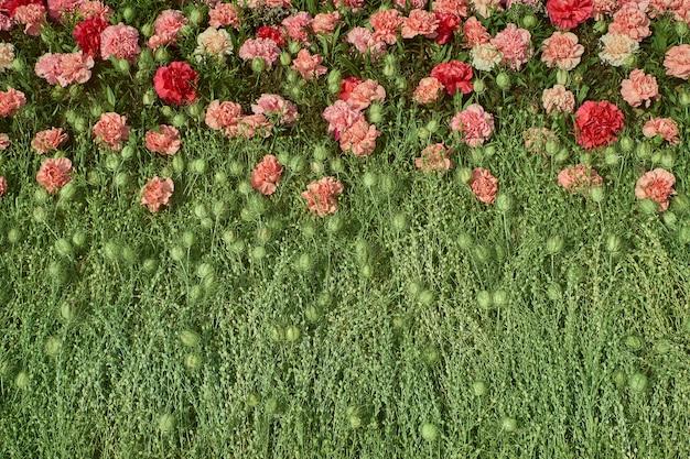 カラフルなカーネーションの花の背景。上面図 Premium写真