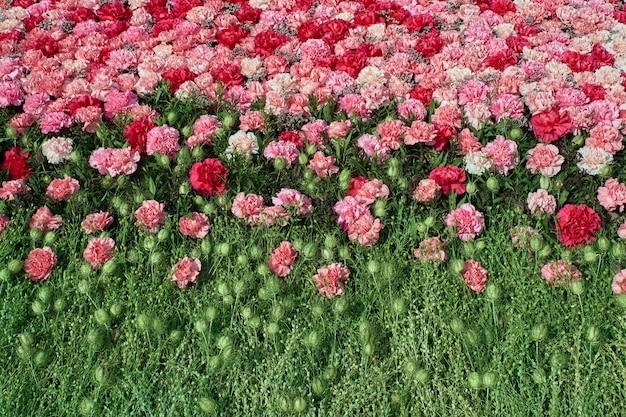 カラフルなカーネーションの花の背景。 Premium写真