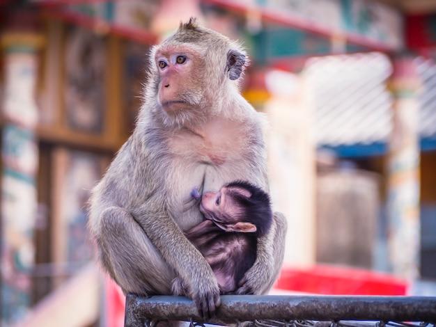 Обезьянка младенец сидит между руками своей матери Premium Фотографии