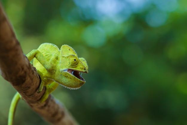 Зеленый хамелеон индия Premium Фотографии