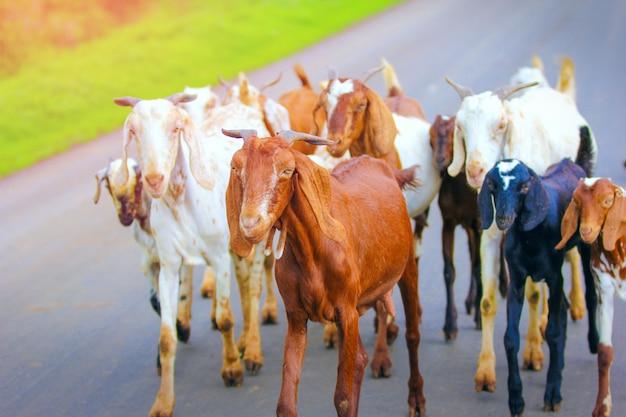 フィールドでインドのヤギ Premium写真