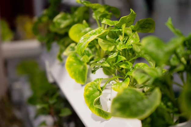 若くて新鮮な有機栽培野菜の水耕庭 Premium写真