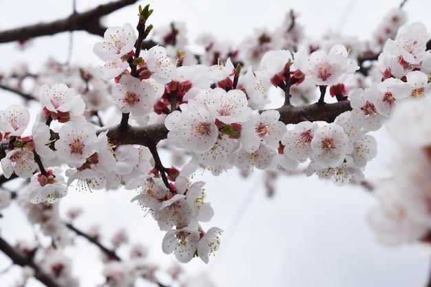 Персиковый цветок. свежий весенний фон Premium Фотографии