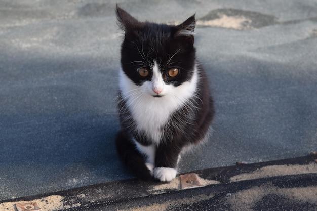 白黒猫がホストを見ています Premium写真