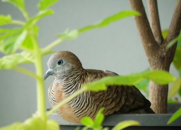 シマウマの鳩、コンドミニアムのバルコニーでプランターでリラックス Premium写真