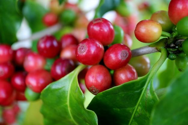 その木の枝に赤熟したコーヒーチェリーの束のクローズアップ収穫の準備ができて Premium写真