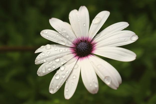 雨滴、イースター島、チリと白いケープデイジーのクローズアップ Premium写真