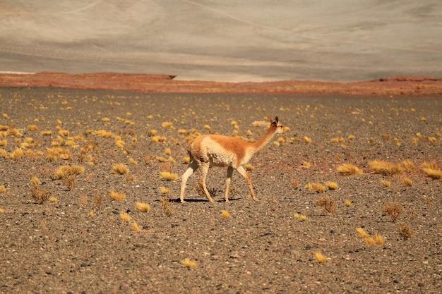 チリ北部のチリアンデスの麓にある野生のビクーニャ Premium写真