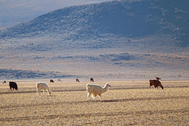 バックグラウンドでアンデス山脈とボリビアの高地で放牧ラマの多く Premium写真