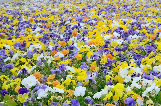 Разноцветные цветы анютины глазки или анютины глазки крупным планом в качестве фона или карты Premium Фотографии