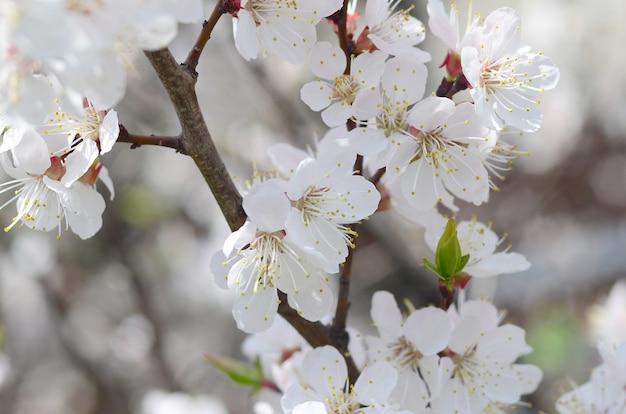 白い花とピンクのリンゴの木の花 Premium写真